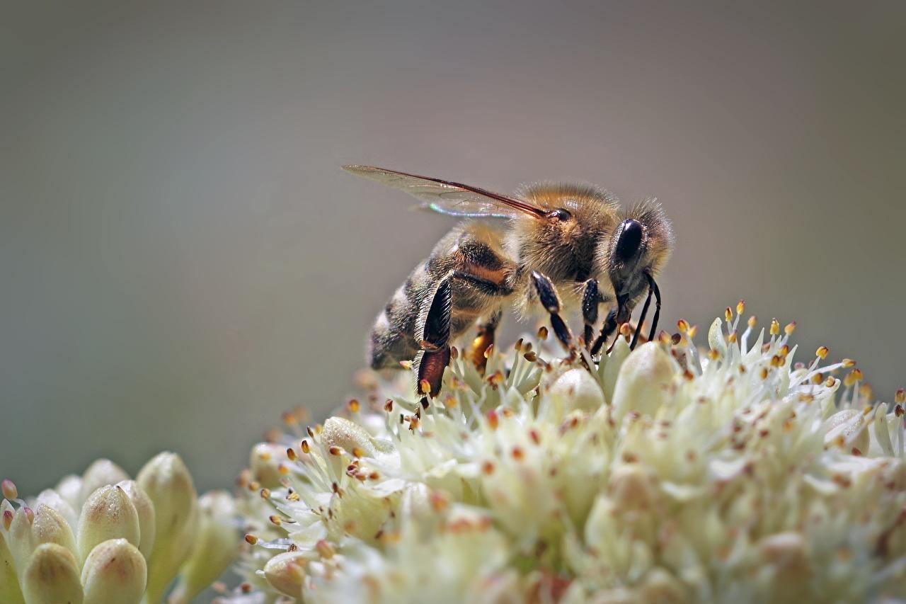 Картинки Пчелы Насекомые вблизи Животные насекомое животное Крупным планом