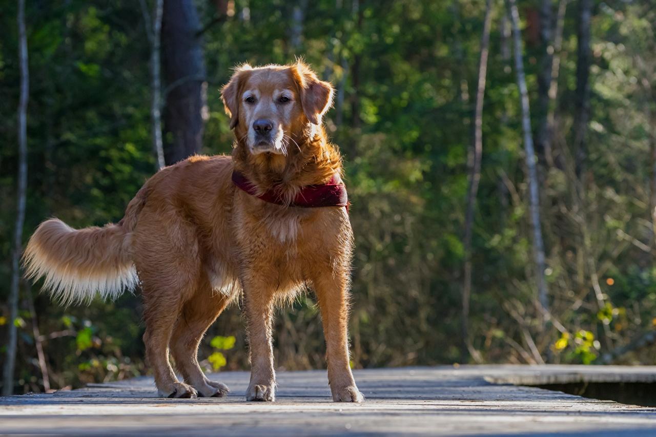 Картинки Золотистый ретривер Собаки Размытый фон Животные собака боке животное