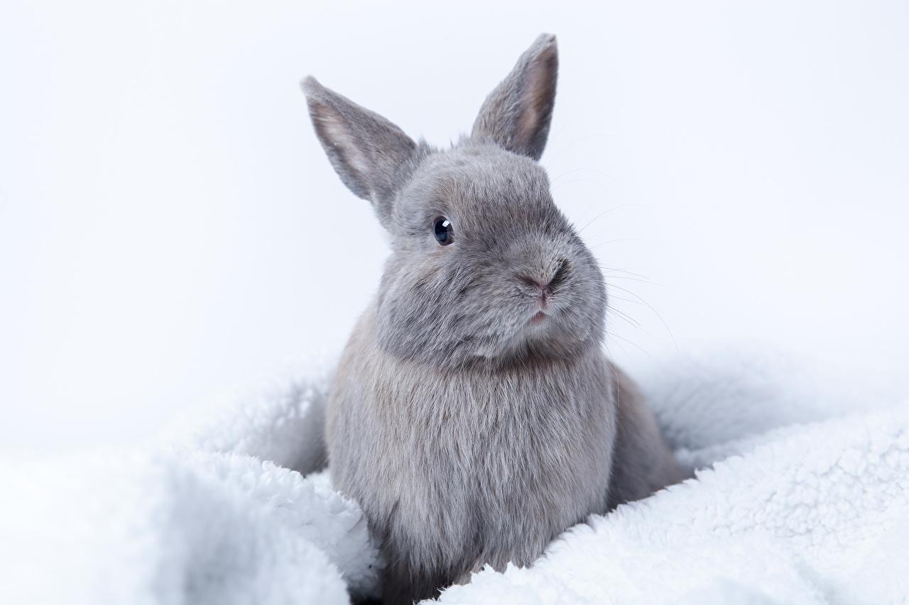 Обои для рабочего стола кролик серая животное Кролики Серый серые Животные