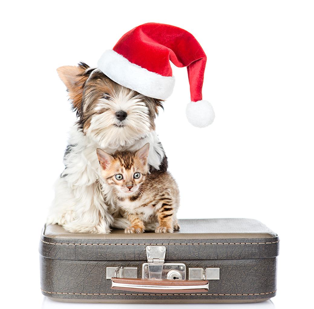 Фотография котят Йоркширский терьер кот Собаки Рождество шапка чемоданы Животные Белый фон Котята котенок котенка коты кошка Кошки собака Новый год Шапки в шапке Чемодан чемоданом животное белом фоне белым фоном