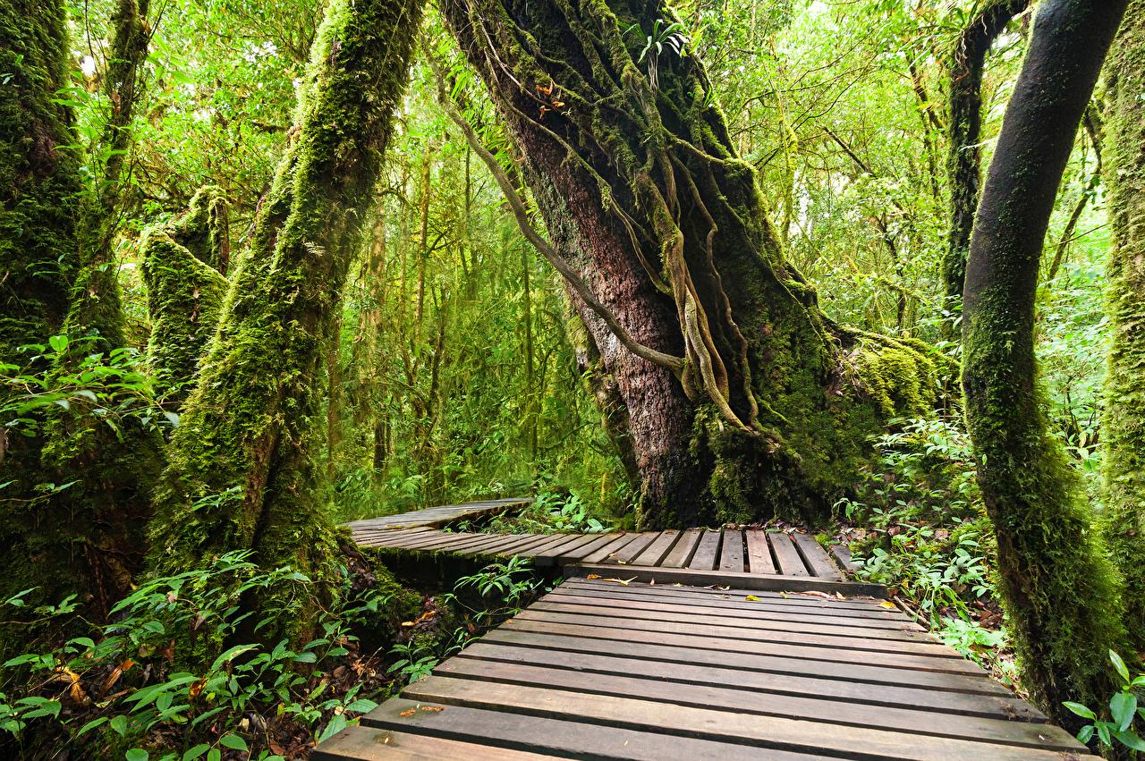 Обои для рабочего стола Таиланд Doi Inthanon National Park Природа лес Парки Тропики Ствол дерева Мох Леса парк тропический мха мхом