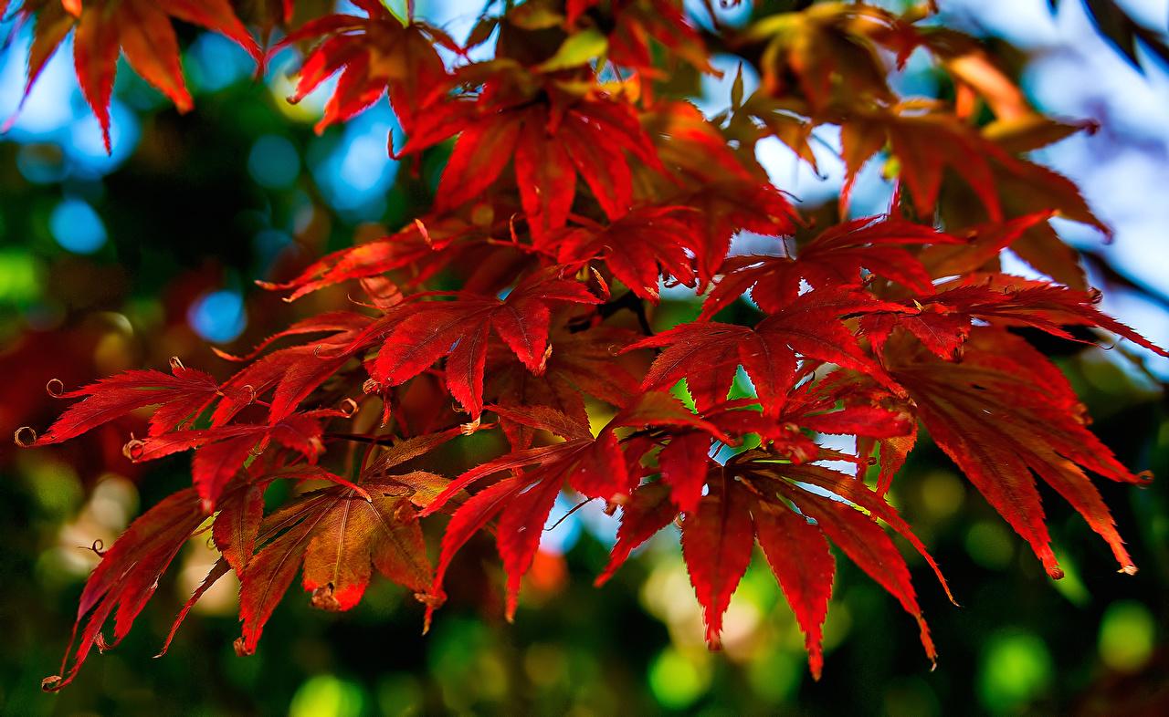 Обои для рабочего стола Листья Клён красные Природа лист Листва клёна клёновый красная Красный красных