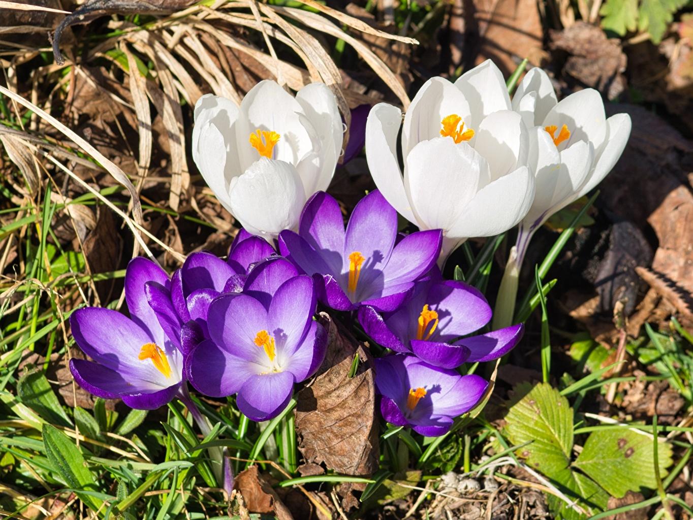 Фото белая Фиолетовый Цветы Шафран Крупным планом Белый белые белых фиолетовая фиолетовые фиолетовых цветок Крокусы вблизи