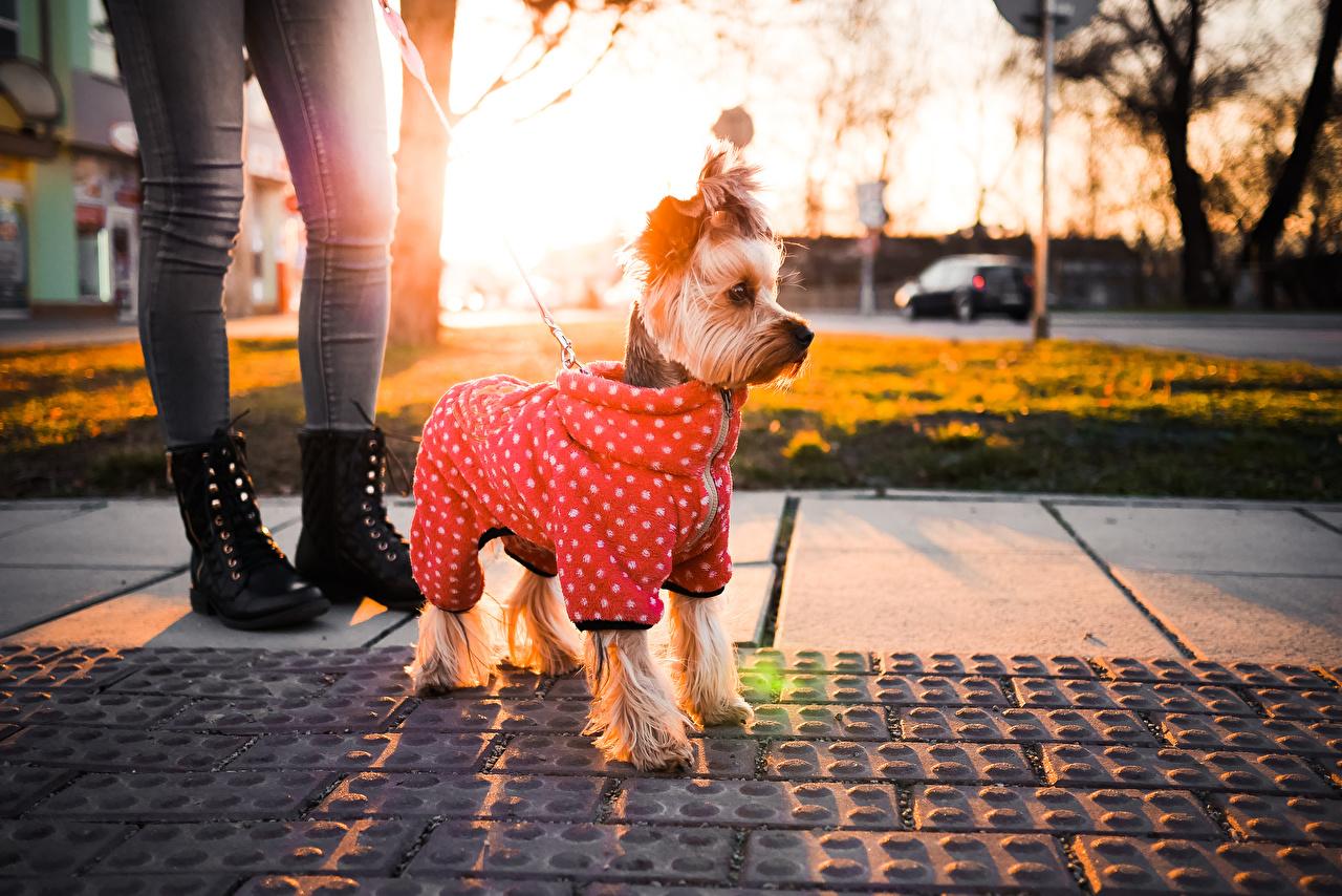Фотографии Йоркширский терьер Собаки Животные собака животное