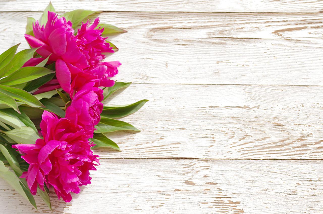 Обои для рабочего стола розовая Цветы Пионы Доски розовых розовые Розовый пион цветок