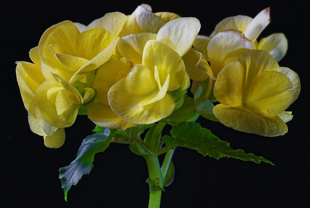 Фотография Желтый Цветы Бегония вблизи Черный фон Крупным планом