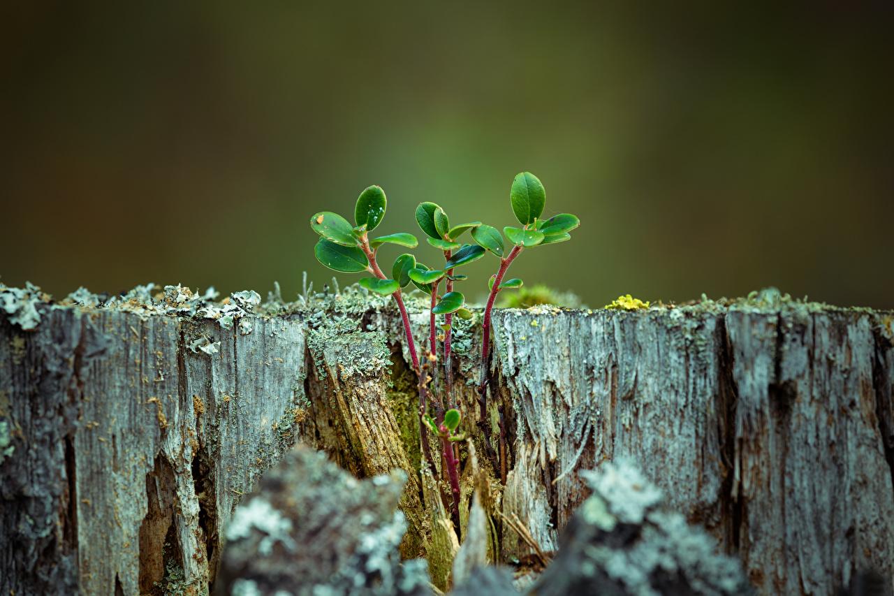 Картинка лист Природа пне ветка вблизи Листва Листья Пень ветвь Ветки на ветке Крупным планом