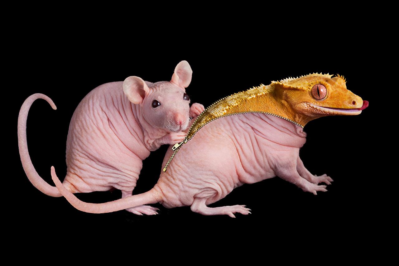 Обои для рабочего стола Крысы Ящерица Двое Животные на черном фоне крыса Ящерицы 2 два две вдвоем животное Черный фон