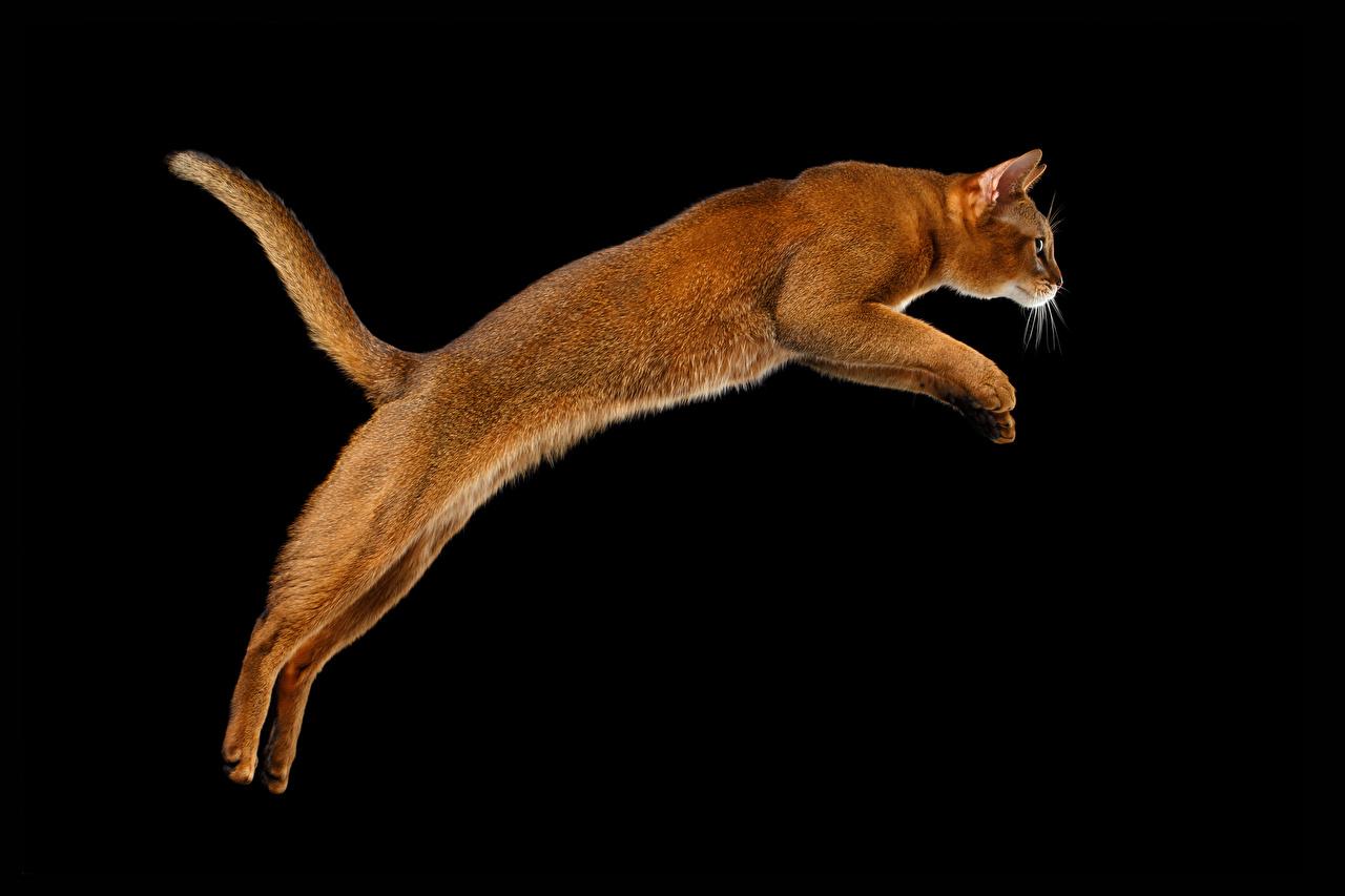 Обои для рабочего стола коты хвоста Прыжок Животные Черный фон кот кошка Кошки Хвост прыгать прыгает в прыжке животное на черном фоне