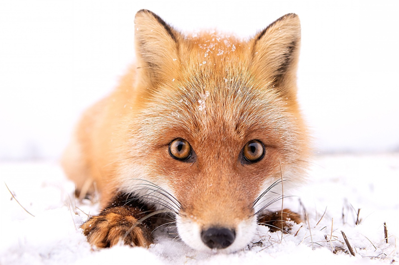 Обои для рабочего стола Лисица Нос снега Морда смотрит Животные Лисы носа Снег снеге снегу морды Взгляд смотрят животное