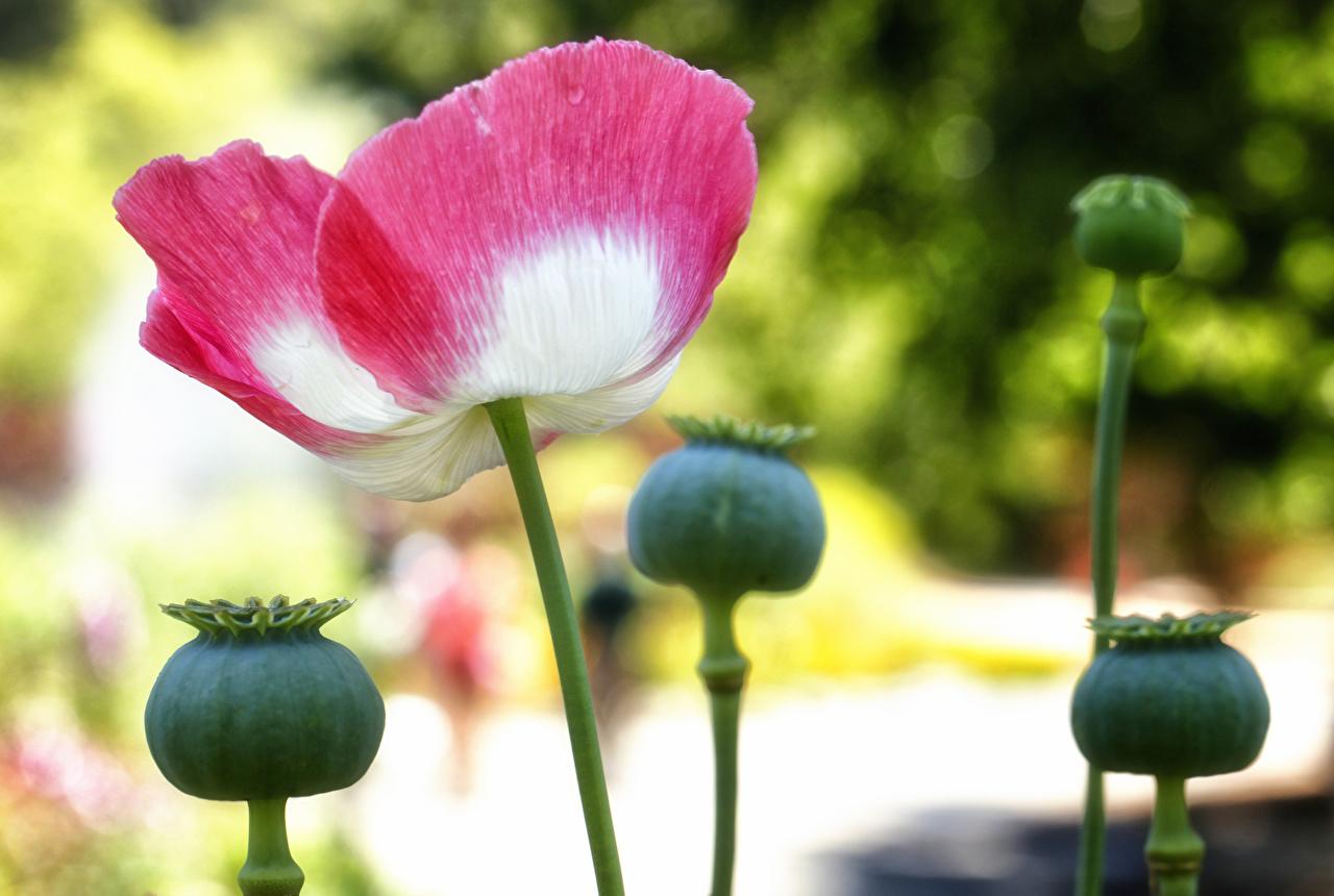 Фотография мак Цветы Бутон вблизи Маки цветок Крупным планом