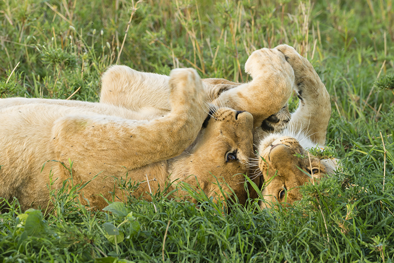 Картинки Львы Большие кошки Двое траве Животные лев 2 два две вдвоем Трава животное