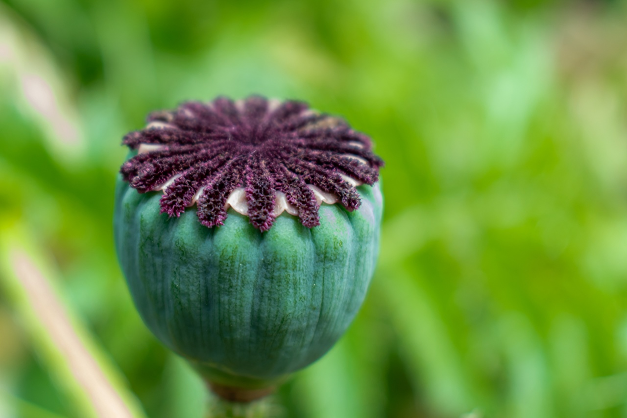 Фотография боке мак Цветы Бутон Крупным планом Размытый фон Маки цветок вблизи