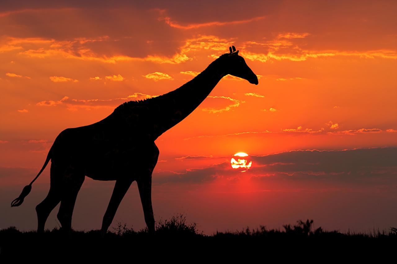 Картинка Жирафы Силуэт Рассветы и закаты Животные