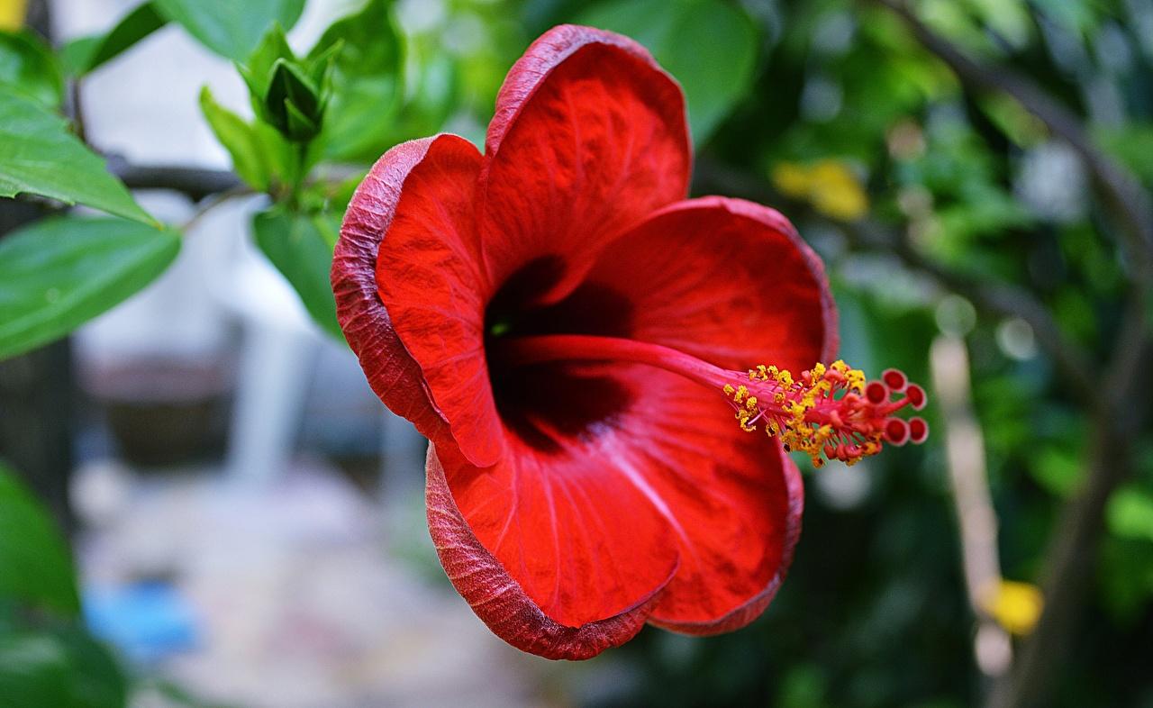 Картинки Красный Цветы Гибискусы Крупным планом вблизи