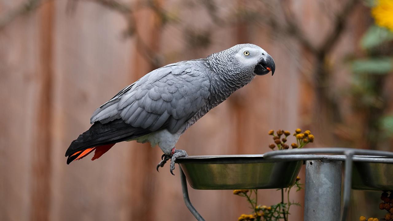 Фотографии птица Попугаи Grey parrot Серый Миска Животные Птицы серые серая животное