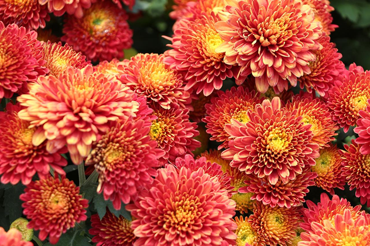 Фото Цветы Хризантемы Много Крупным планом цветок вблизи