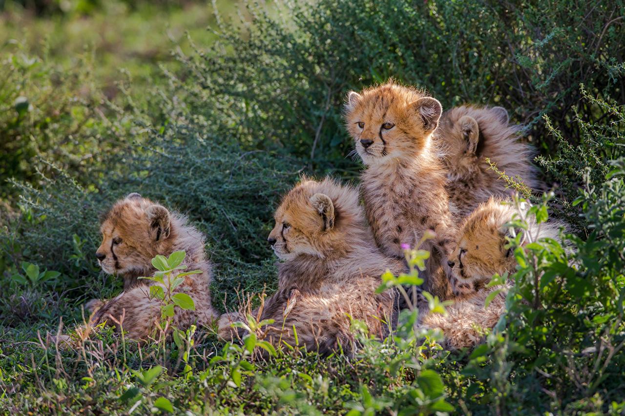 Фотографии гепард Большие кошки Детеныши траве животное Гепарды Трава Животные