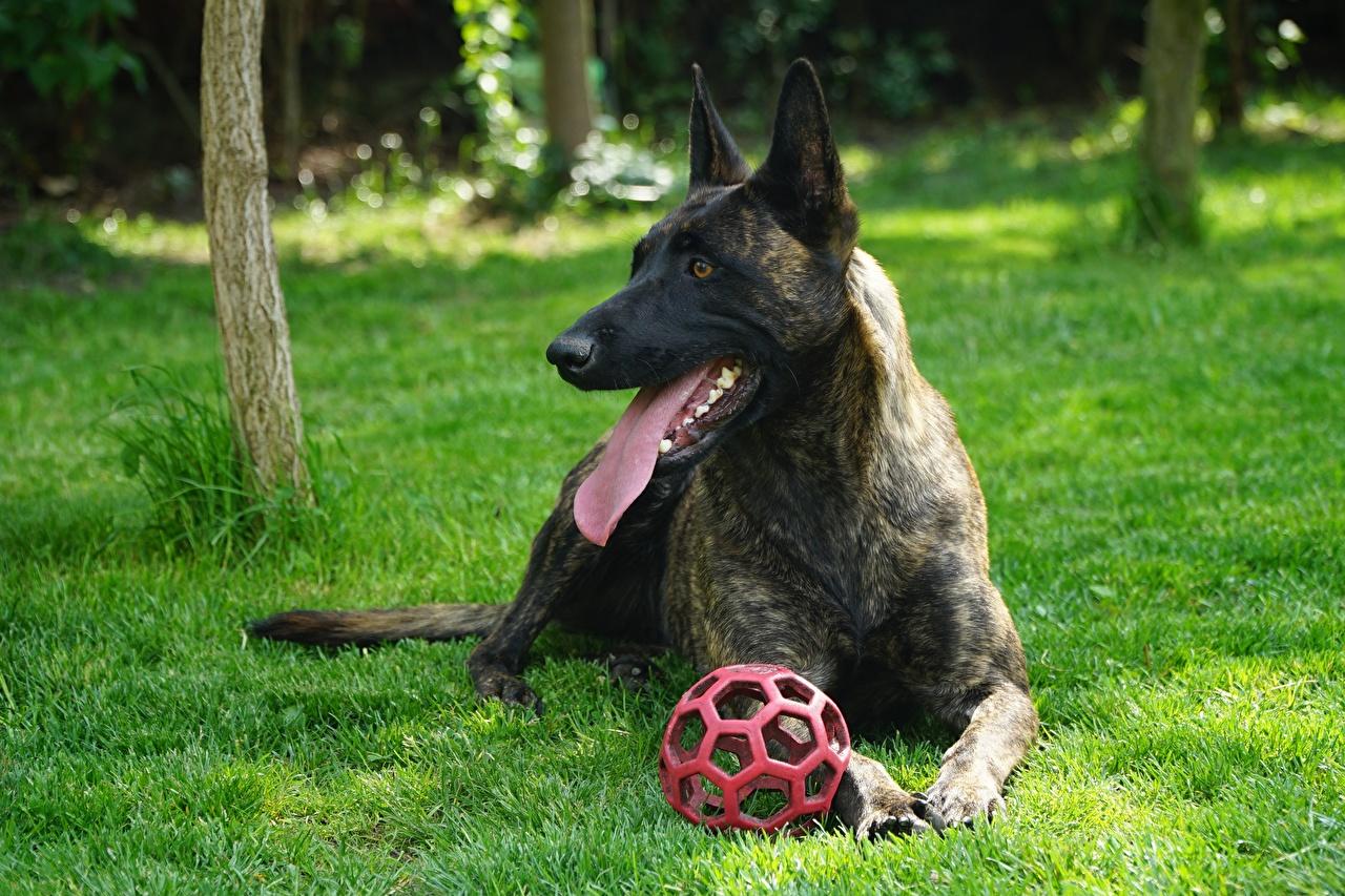 Фото овчарки собака лежачие Dutch shepherd Язык (анатомия) Мяч Трава Животные Овчарка Собаки лежа лежат Лежит языком траве Мячик животное