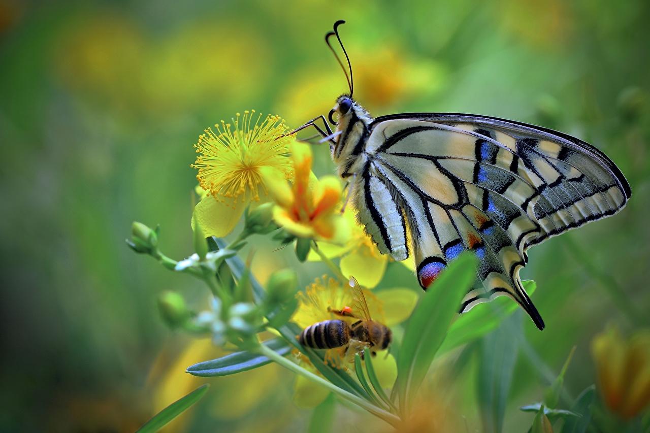Фото бабочка Насекомые machaon животное Крупным планом Бабочки насекомое вблизи Животные