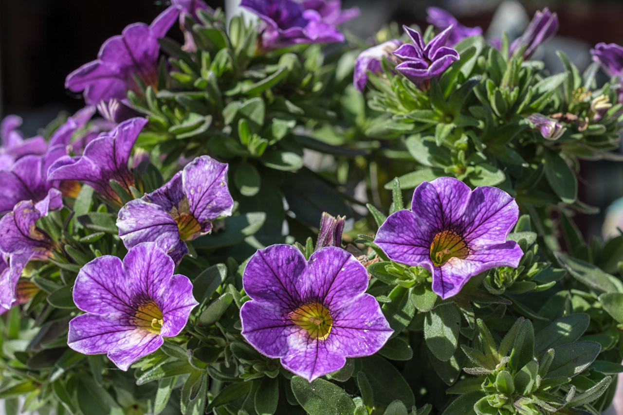 Фото фиолетовые цветок Петунья вблизи фиолетовых Фиолетовый фиолетовая Цветы петуния Крупным планом