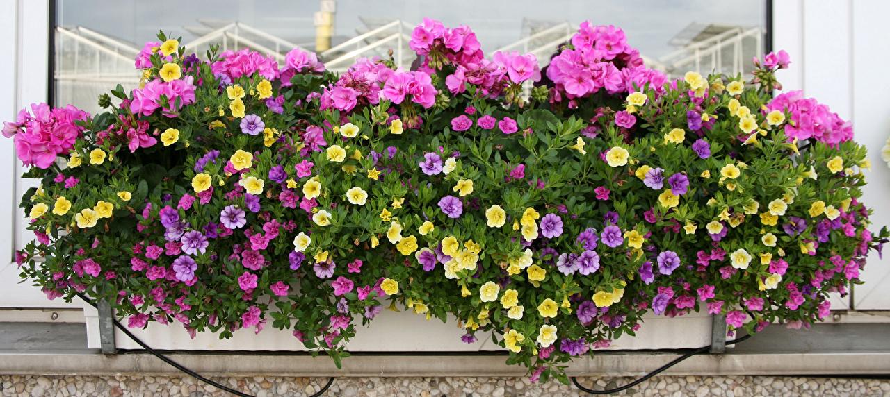 Фото Цветы Калибрахоа журавельник цветок Герань