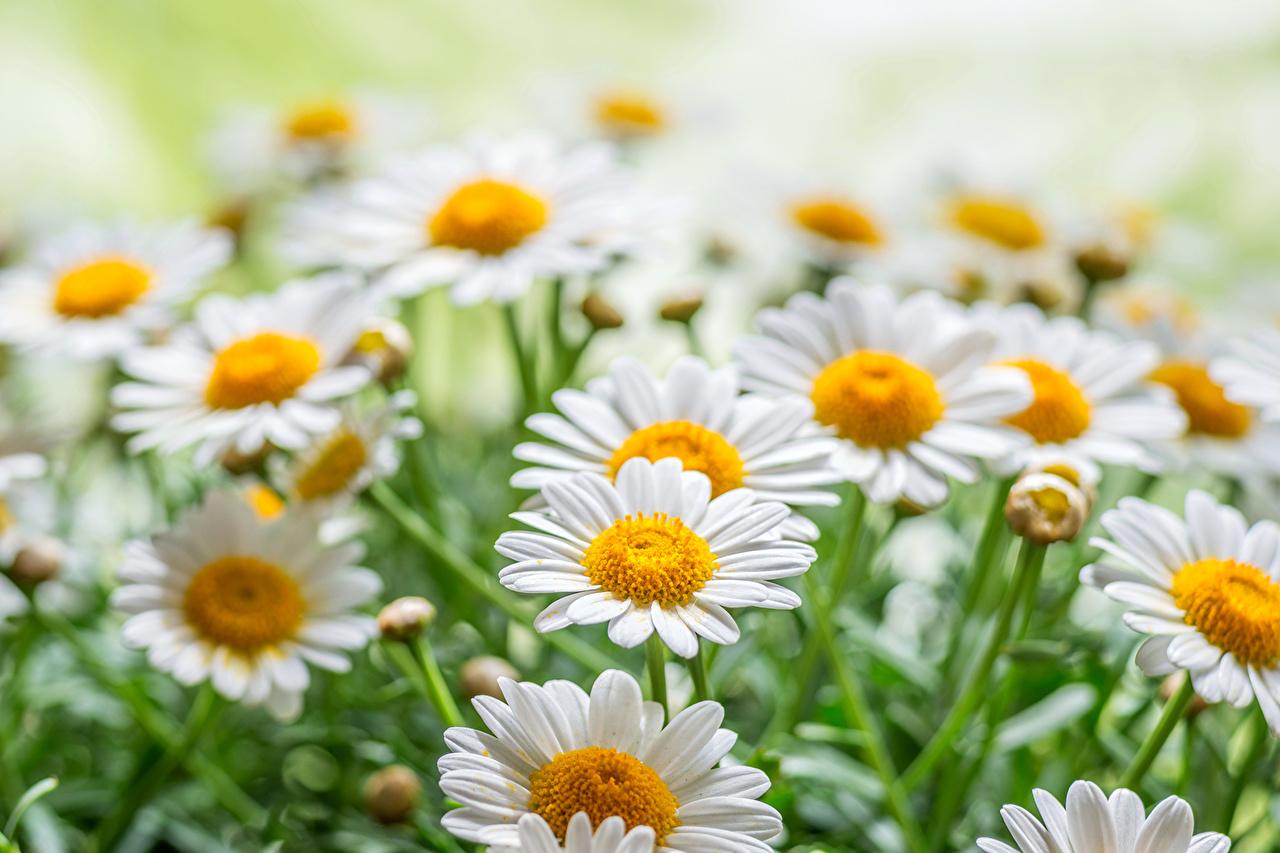 Фото Цветы Ромашки вблизи цветок ромашка Крупным планом