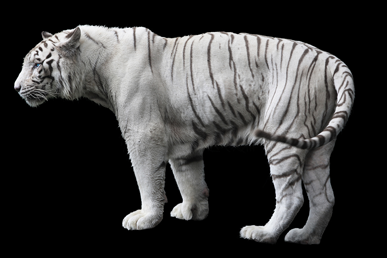 Фотографии Тигры белые Сбоку Животные Черный фон белых Белый белая