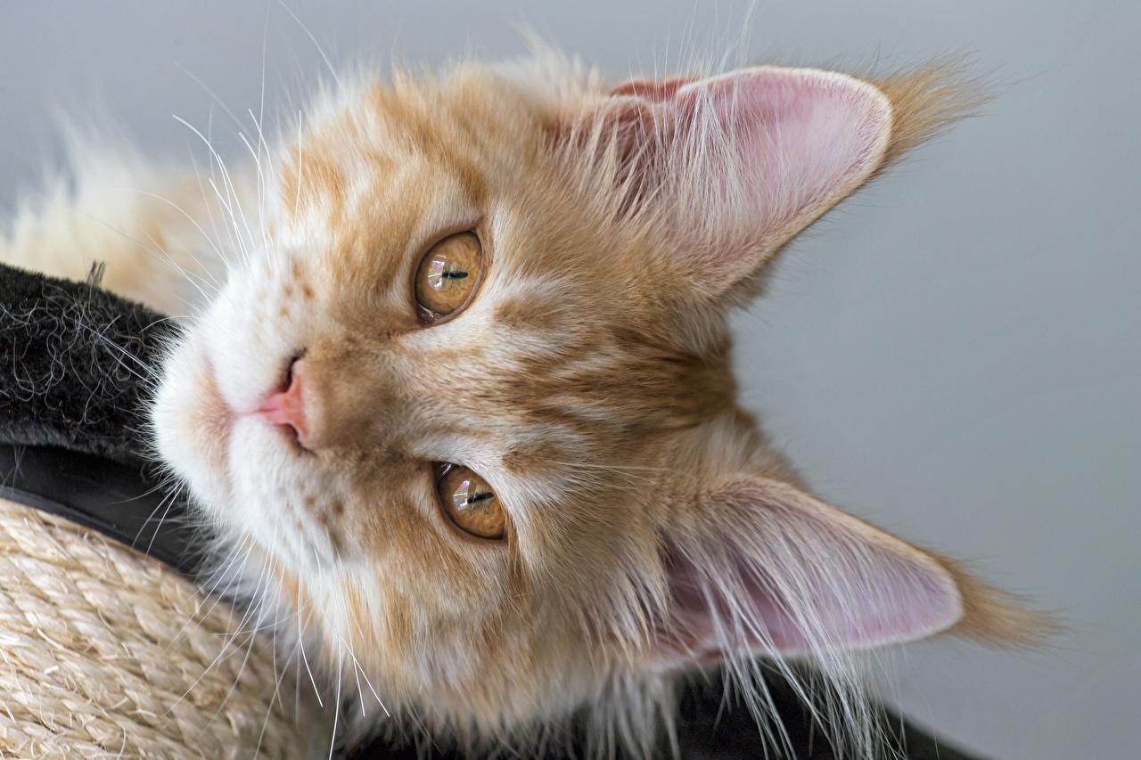 Картинки Мейн-кун Кошки Рыжий Морда Взгляд Животные Коты смотрит