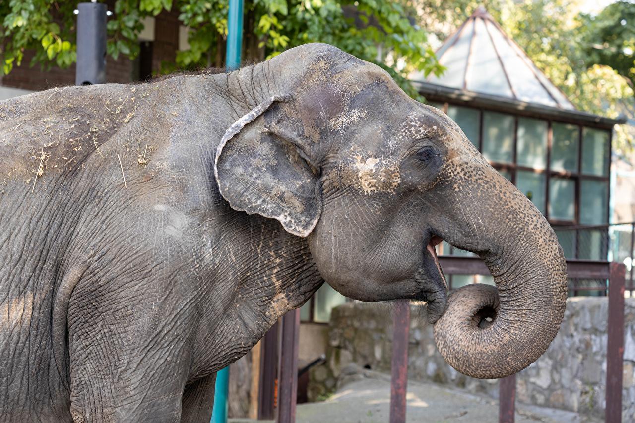 Фото слон Морда Сбоку Животные Слоны морды животное