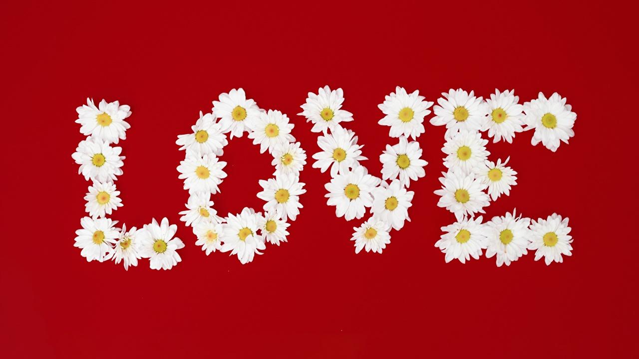 Фотография английская Любовь текст Ромашки красном фоне Английский инглийские слова ромашка Слово - Надпись Красный фон