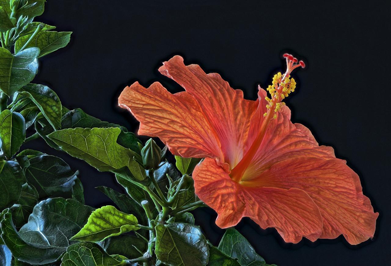Фотография HDR Оранжевый Цветы Гибискусы вблизи Черный фон HDRI Крупным планом
