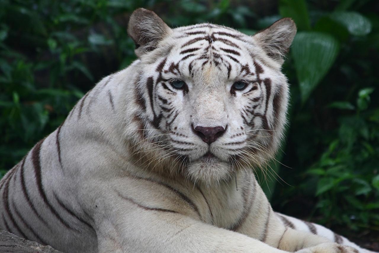 Картинка Тигры Большие кошки Белый Морда Животные