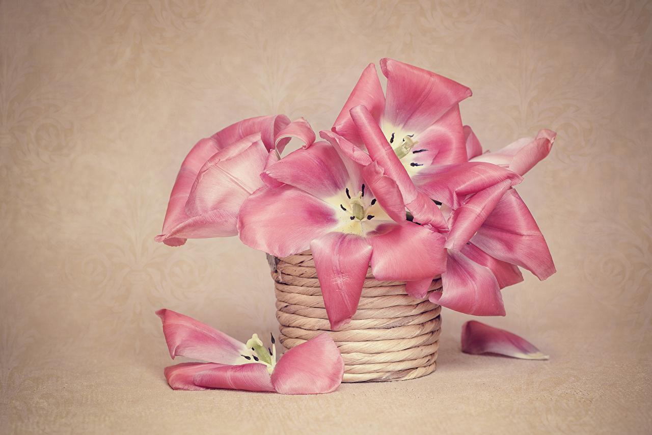 Фото тюльпан розовая Лепестки Цветы корзины Цветной фон розовые Розовый розовых Тюльпаны лепестков цветок Корзина Корзинка