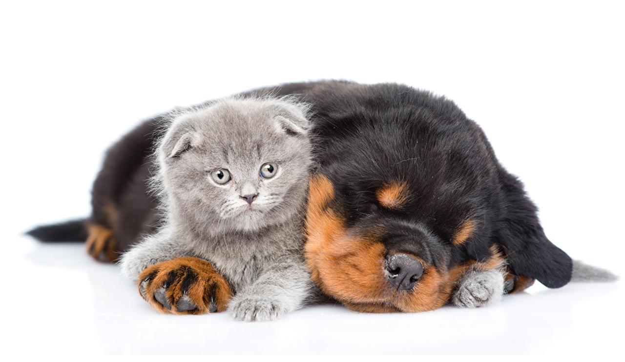 Фотографии Котята щенков Ротвейлер Кошки Собаки два Спит Животные белом фоне котят щенки щенка Щенок котенка котенок кот коты кошка собака 2 сон две Двое спят спящий вдвоем животное Белый фон белым фоном