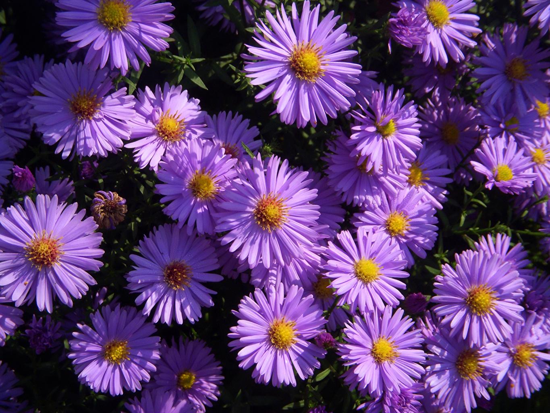 Картинки Фиолетовый Астры Цветы Крупным планом фиолетовая фиолетовые фиолетовых цветок вблизи