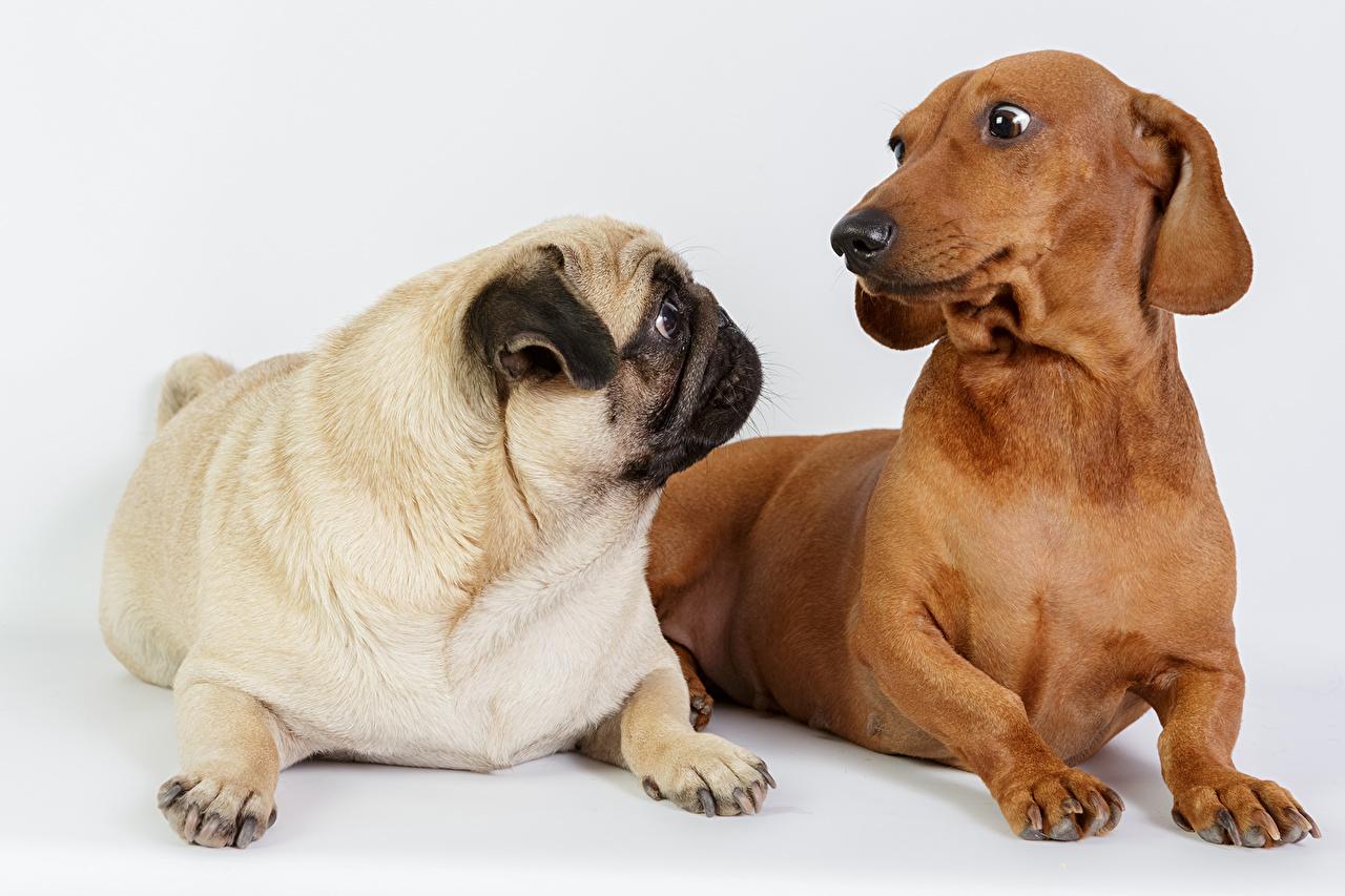 Фотография таксы мопсы Собаки 2 Животные Мопс Такса мопса собака два две Двое вдвоем животное