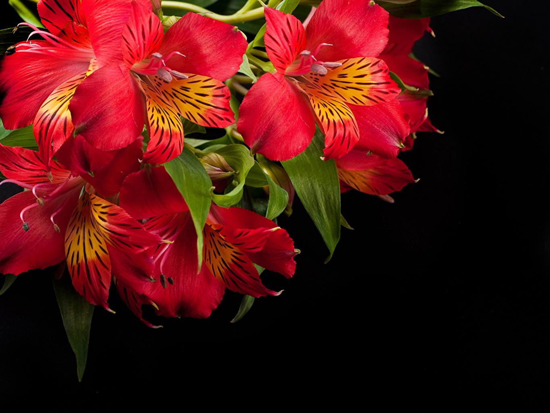 Фотография красных цветок Альстрёмерия Черный фон Крупным планом Красный красные красная Цветы вблизи на черном фоне