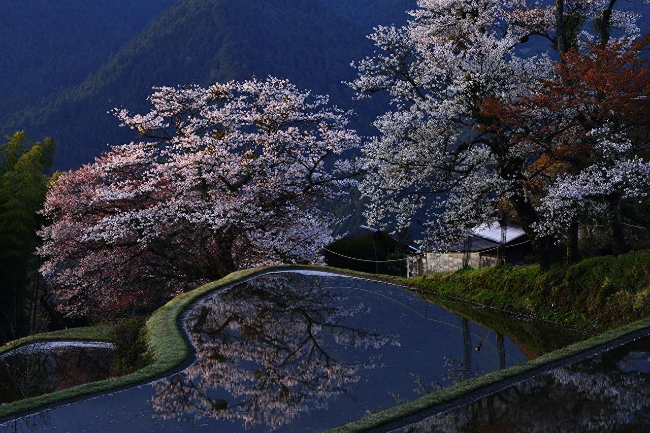 Картинки Киото Япония весенние Парки Природа Цветущие деревья Весна