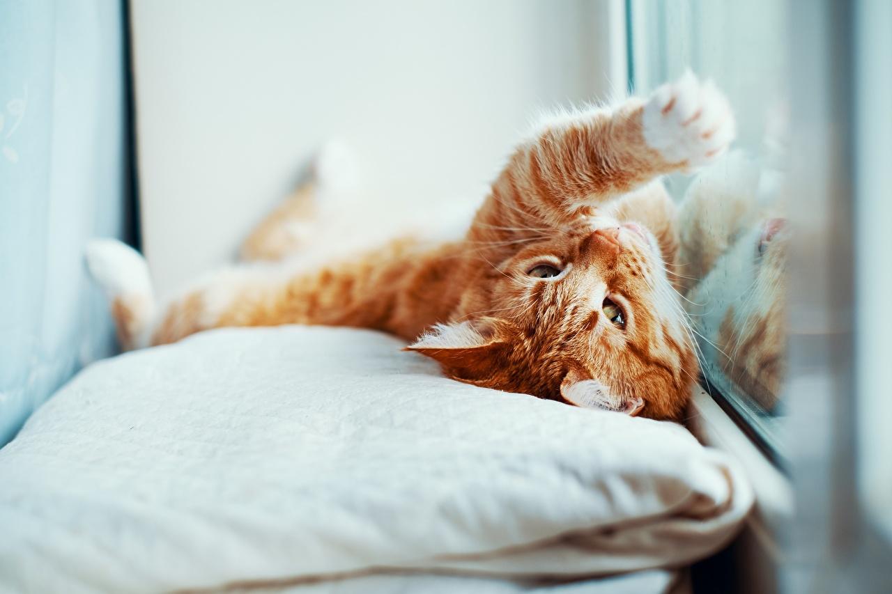 Фотографии Кошки Рыжий лап Окно Подушки Животные кот коты кошка рыжие рыжая Лапы окна подушка животное