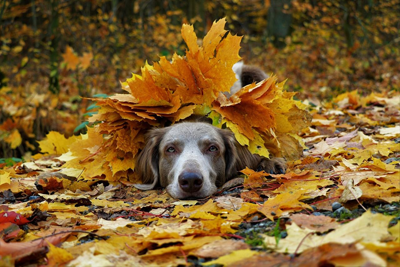 Фотография веймарская легавая Собаки лист Осень Животные Веймаранер собака Листья Листва осенние животное