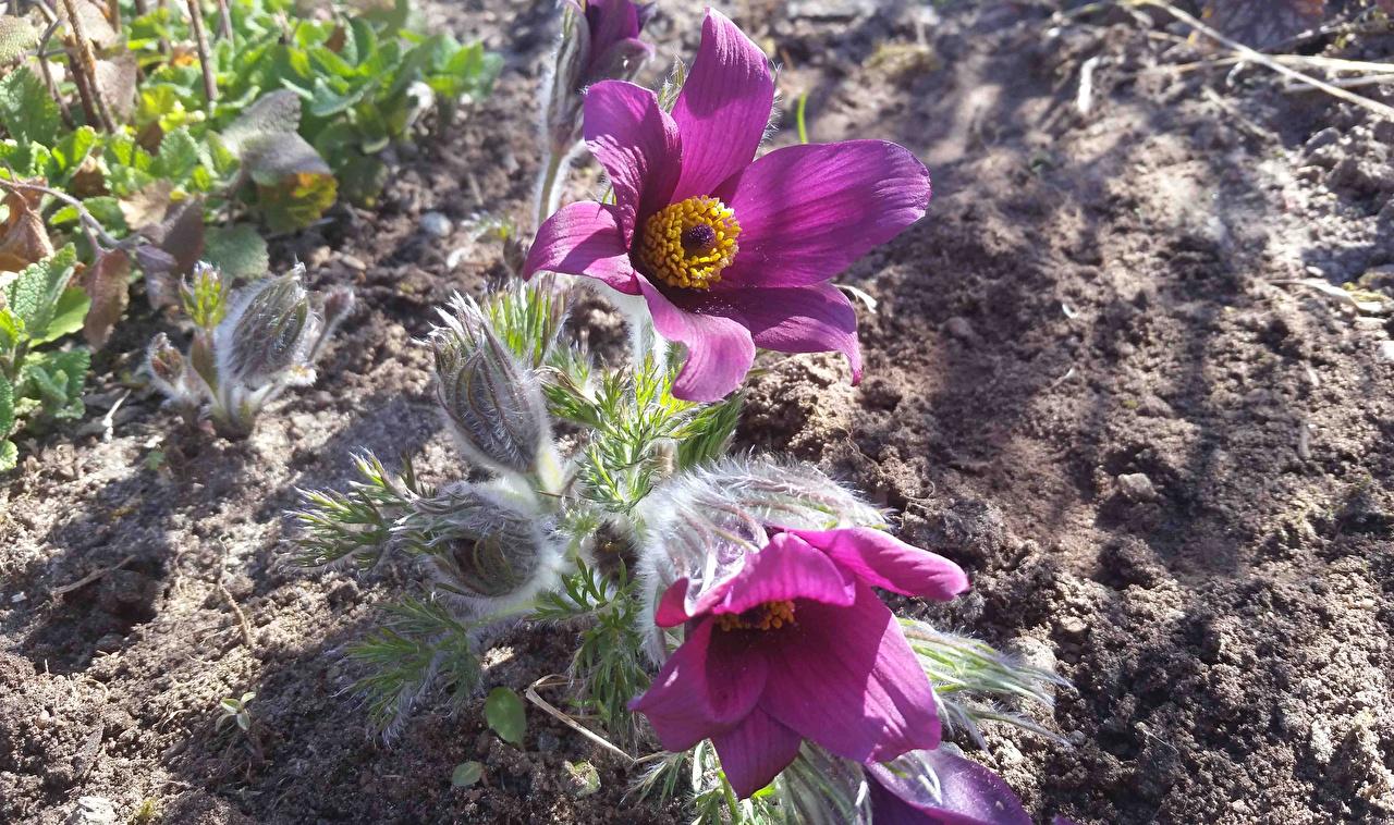 Фотографии цветок Прострел Бутон вблизи Цветы Крупным планом