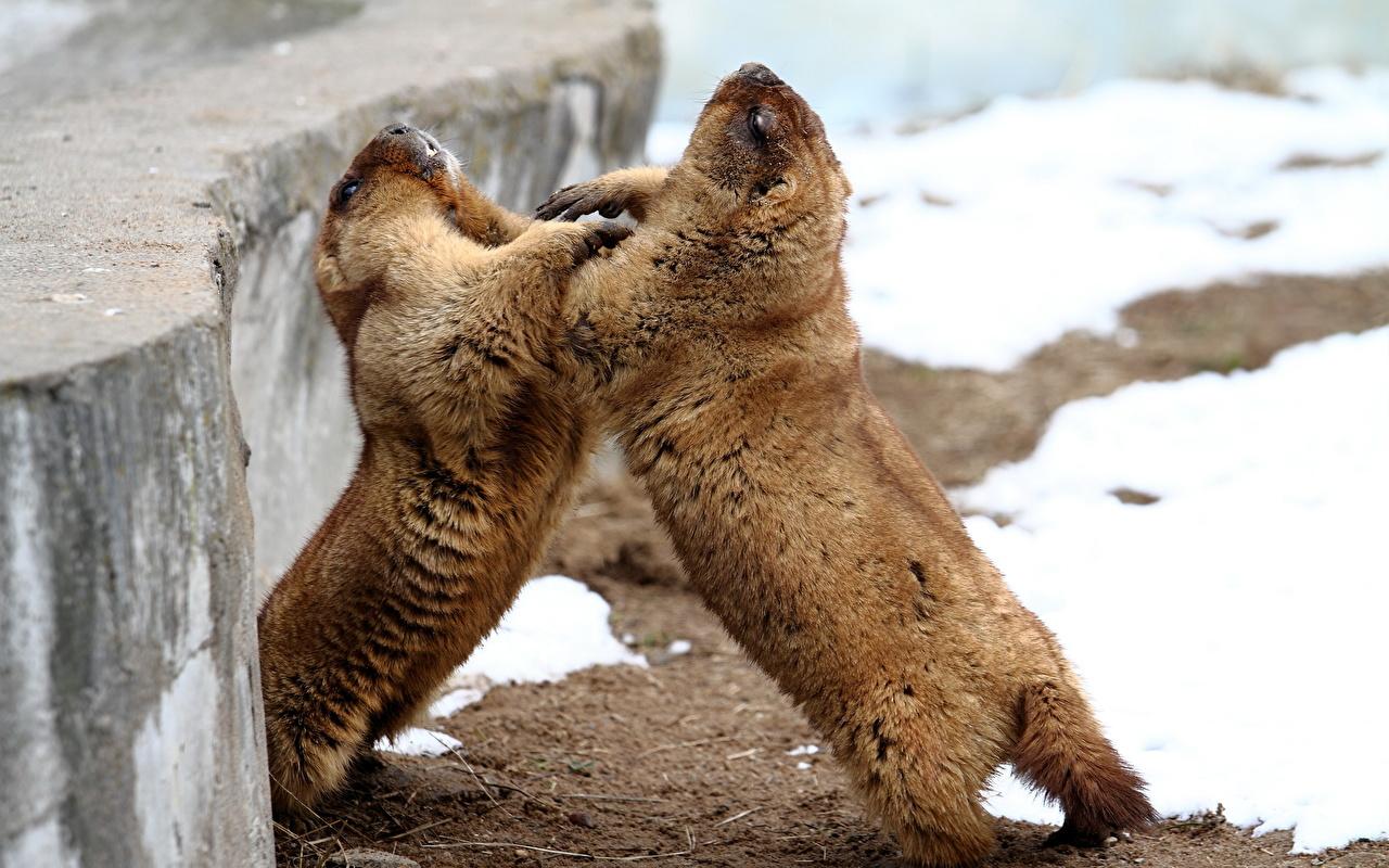 Фотография Сурок Грызуны Двое Драка Животные сурки 2 два две вдвоем дерется дерутся сражение животное