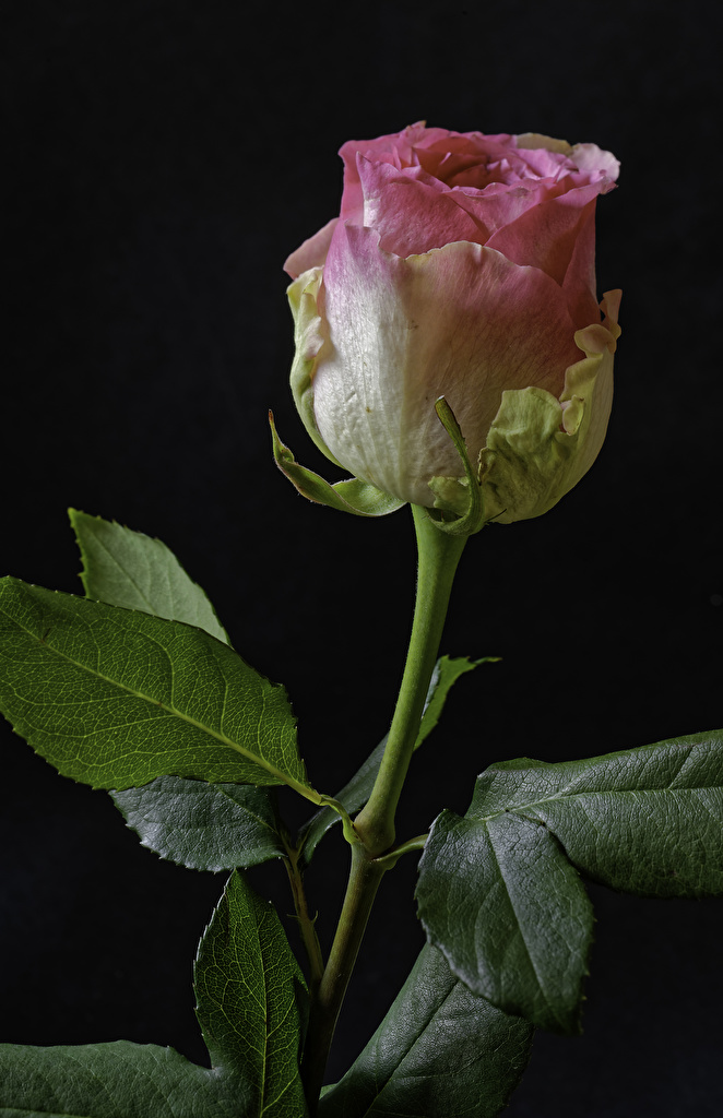 Фотографии Розы розовых Цветы вблизи на черном фоне  для мобильного телефона роза Розовый розовая розовые цветок Черный фон Крупным планом