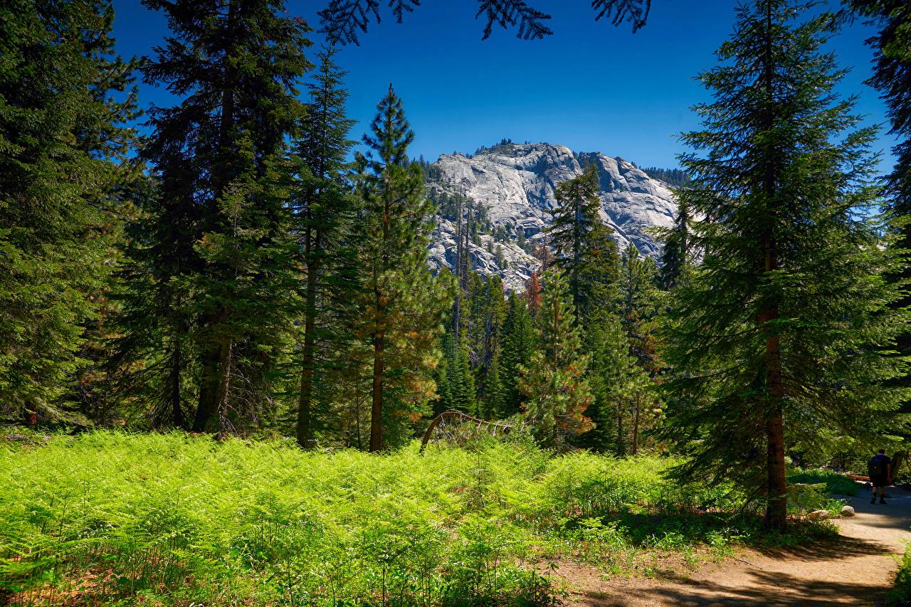 Картинка америка Sequoia National Park Ель гора Природа Леса парк Трава США штаты ели Горы лес Парки траве