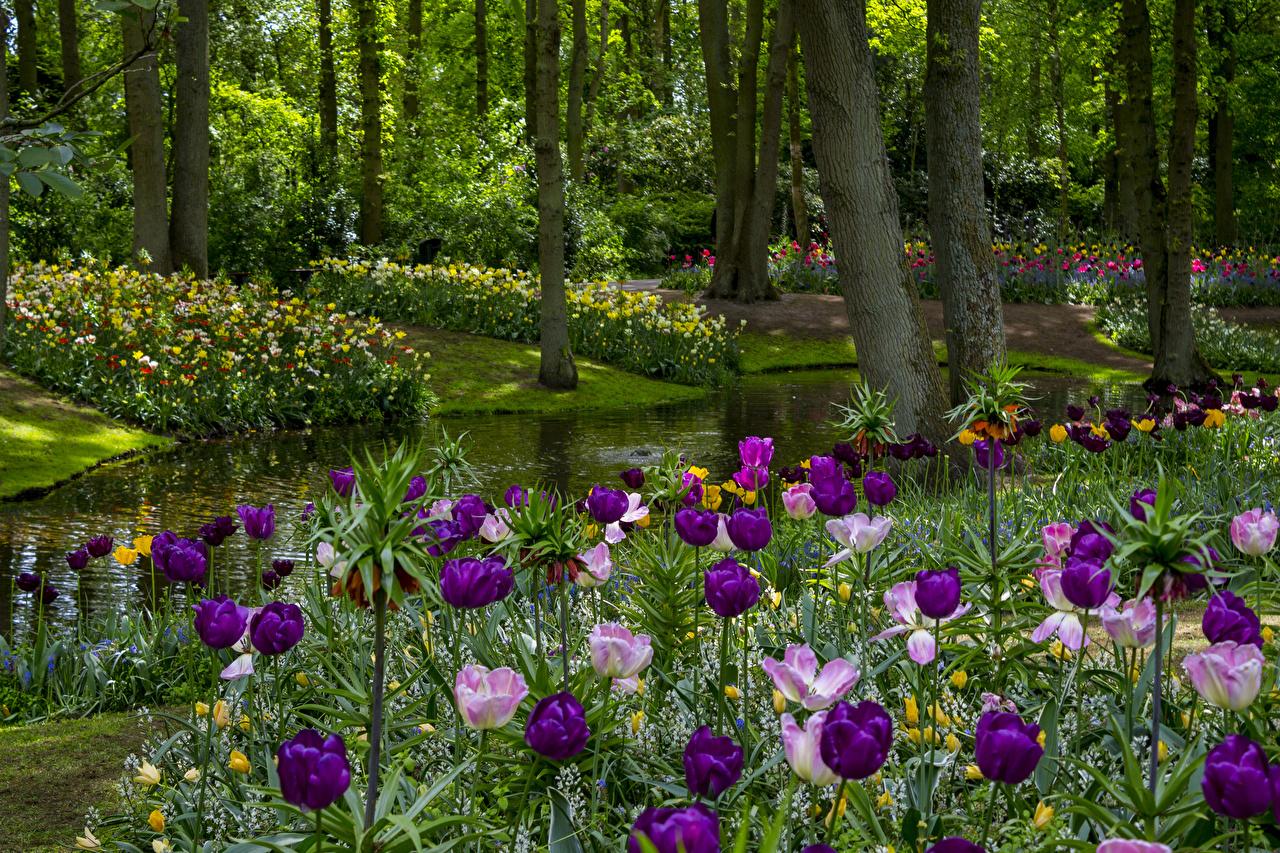 Фото Нидерланды Keukenhof Gardens Природа тюльпан весенние Пруд Парки дерево Весна Тюльпаны парк дерева Деревья деревьев