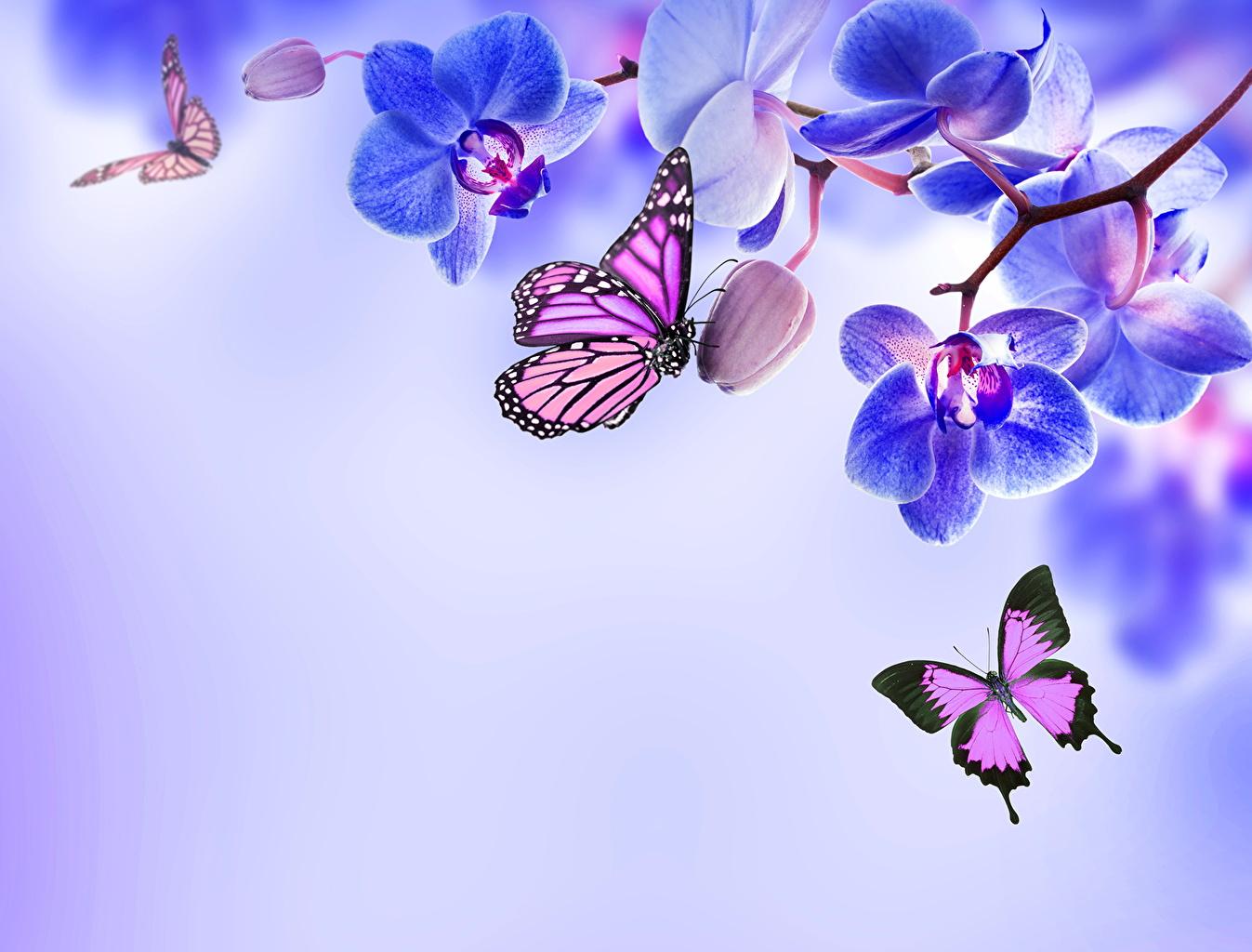 Фотографии Данаида монарх Бабочки Орхидеи Цветы