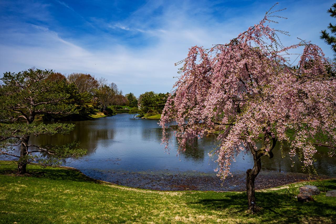 Обои для рабочего стола США Missouri Botanical Garden Ель Природа Пруд Парки Цветущие деревья штаты америка ели парк