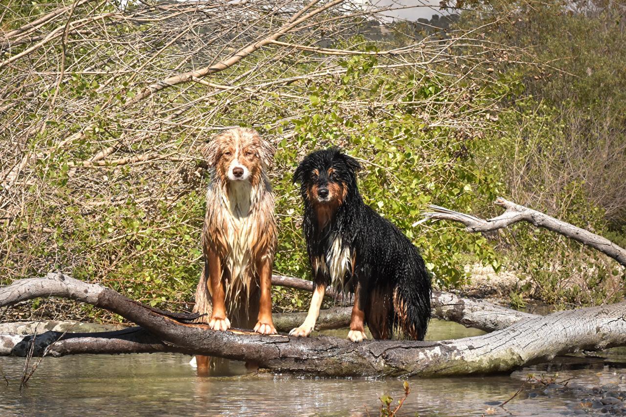 Фотография Австралийская овчарка Собаки 2 Ствол дерева Вода Животные Двое вдвоем