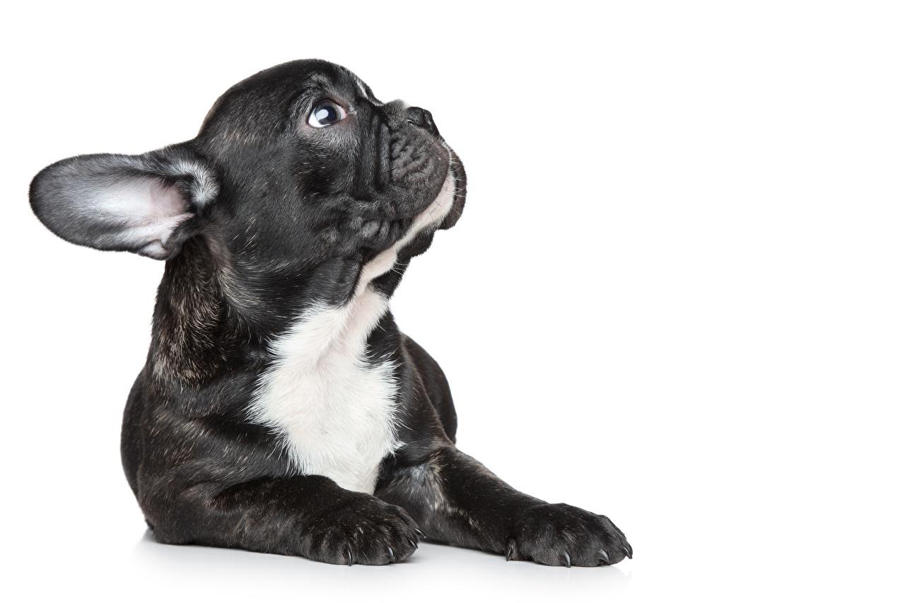 Обои для рабочего стола щенков Французский бульдог морды животное Белый фон щенки Щенок щенка Морда Животные белом фоне белым фоном